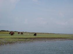 Horses on Shackelford Island