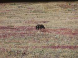 Grizzly - Denali Park