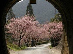 新城市 河津の桜並木