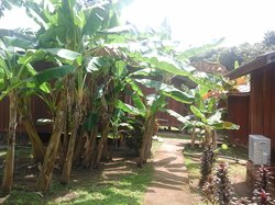 Banana trees around the chalet