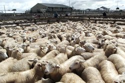 Feilding Saleyards Guided Tour