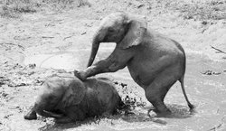 Two of the Elephants at the Orphanage playing in the mud.