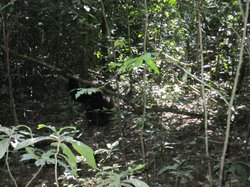 Budongo Forest Chimpanzee Tracking