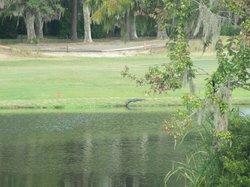 Crocodiles on the fairways of the Oyster Bay Golf Course