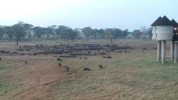 all the buffalo