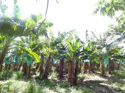 Habitation Chalvet - Plantation Bananière