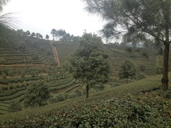 Jiajiang Tianfu Tea Plantation