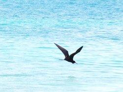 Frigate bird buzzing the beach
