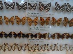 Atlas Moth Museum, Yonaguni