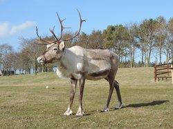 Ythanbank Reindeer
