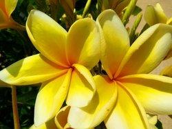 Japun flower