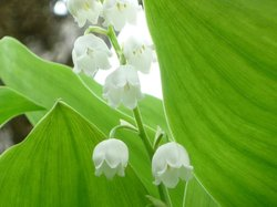 Memu Colony of a Lily of the Valley