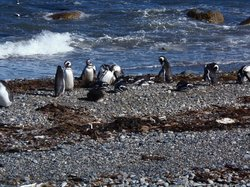 Seno Otoway Penguin Colony