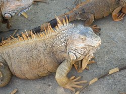 Iguana Research & Breeding Station