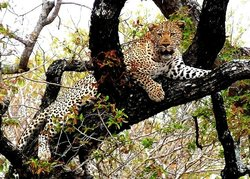 A belly filled by this magnicent Male Leopard now just lazing off in the tree
