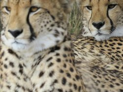 Kwa Cheetah Breeding Project