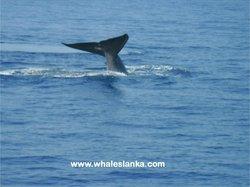 Whales Lanka