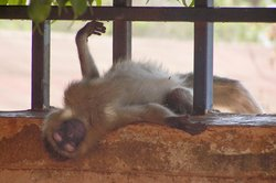 local monkey just lounging