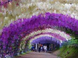 Kitakyushu City Kawachi Fuji Garden Wisterias Blossom