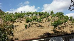 Hamilton Oaks Vineyard