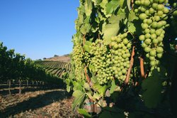 Sustainable Vine Wine Tours