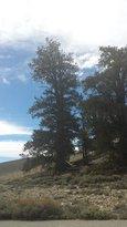 Bristlecone Trails