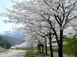 Cherry Blossoms near hotel