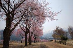 Cheery Blossoms near hotel