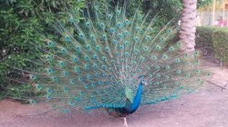 A peacock in all it's splendor, on the hotel grounds