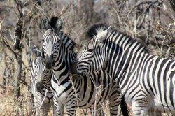 A beautiful zebra family