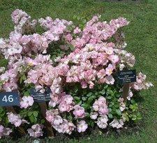 Jardín de Rosas de Cervantes (Roserar de Cervantes)