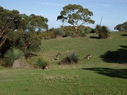 Kangaroos at Deep Creek.