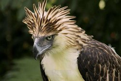 Philippine Eagle showing its crest
