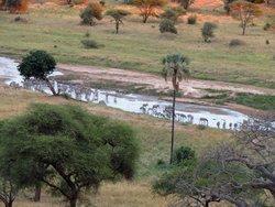 Zebras Arrive After Elephants