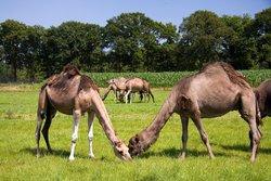 Camel Dairy Smits