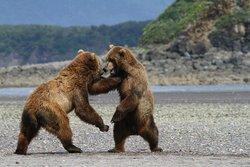 Hallo Bay Lodge Bear VIewing