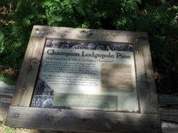 Champion Lodgepole Pine