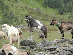 le capre da 3 litri di latte al giorno
