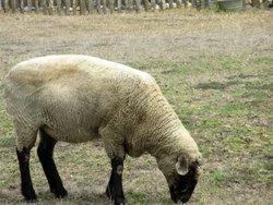 Sheep, Wilder Ranch State Park, Santa Cruz, Ca