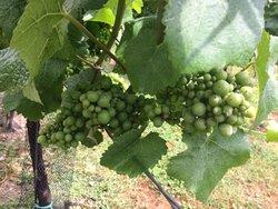 Cottonworth Vineyard