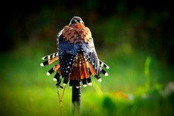 Sharandys Birds of Prey