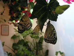 Tropical Butterflies Garden Mindo