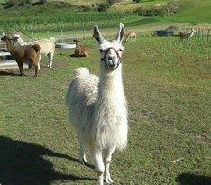 Skjolden Llamas