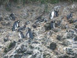 Pinguineras
