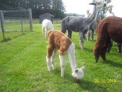 Maple View Farm Alpacas
