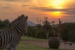 One of the resident Zebra