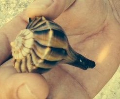 One of the Lightning Whelks found on the beach.  Unfortunately, my husband had to return this on