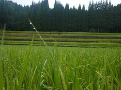 Rice Terrace at Koda