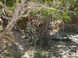 Another view of the Komodo Dragon on the left, near the buffalo carcass