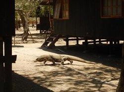 Komodo Dragon at the Ranger Station